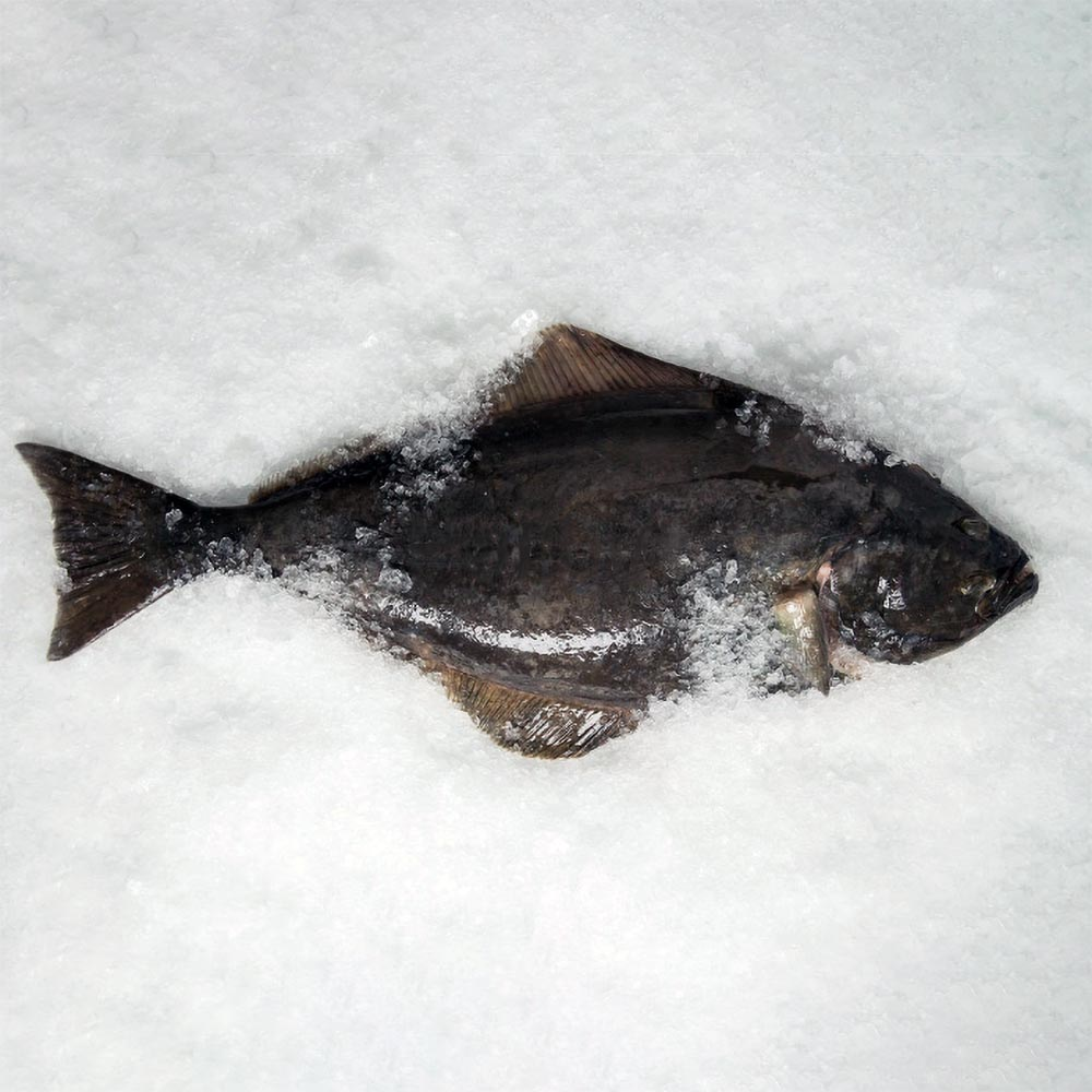 Halibut caught by Sound Leader Seafoods