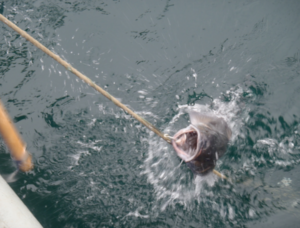 a fish being caught at sea with a hook and line