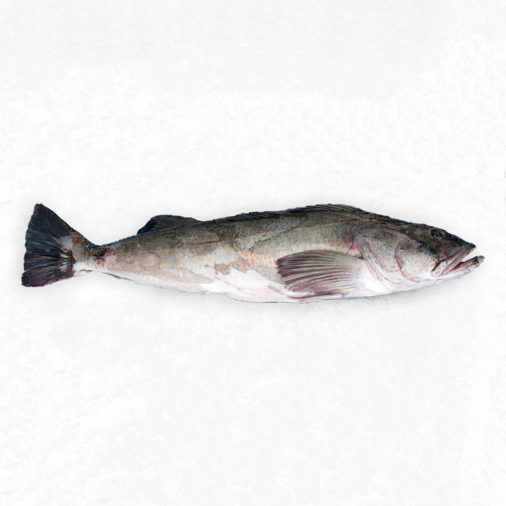 Ling Cod caught by Sound Leader Seafoods in Bellingham, Washington