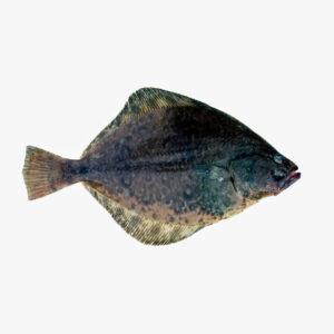 petrale sole fish in ice